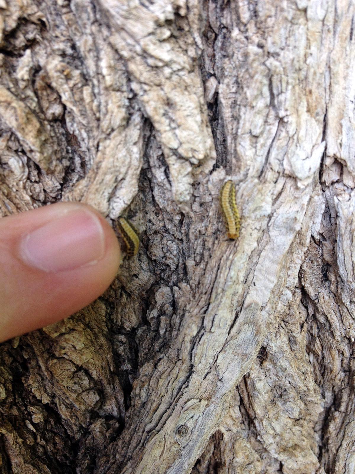 BeetleLarvae